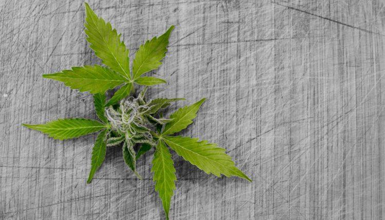 Come usare la cannabis terapeutica